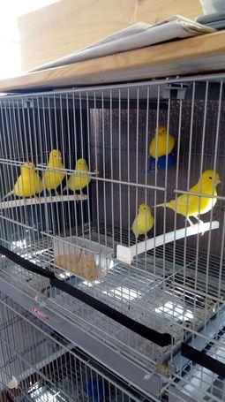 Venta de canarios amarillos y blancos