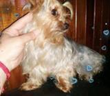 Yorkshire Terrier Bien Mini