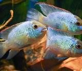 Peces Andinoacara Electric Blue