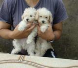 Ultimo Caniche Minitoy Macho
